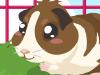 飼養小倉鼠,Guinea Pig Care